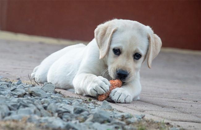 cane ossola bianco