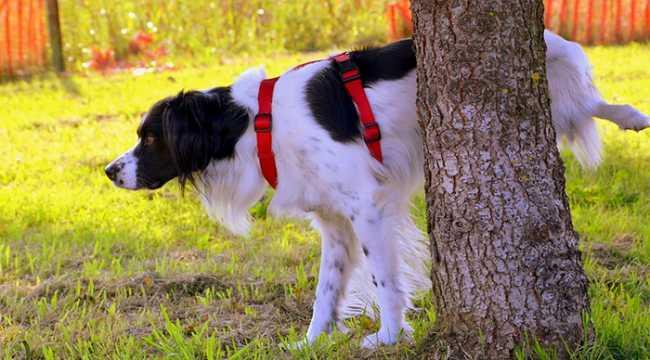cane pipi albero
