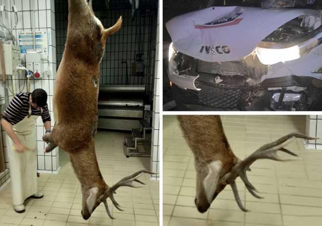 cervo appeso incidente