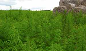 corta canapa piantagione marjuana