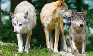 corta lupi