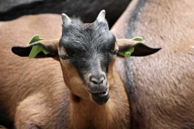goat 3116743 960 720