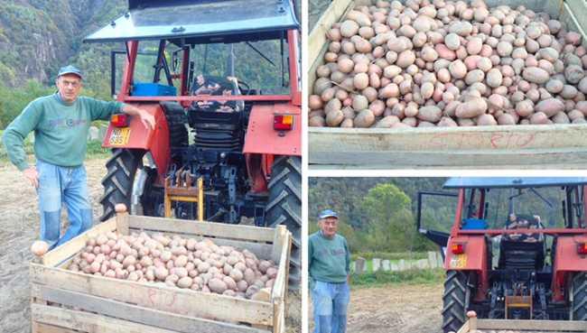 patate beura raccolto 17