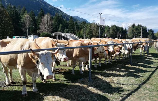 vacche fiera vigezzo 18