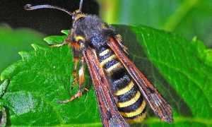 800px Sesiidae Pennisetia hylaeiformis female 001