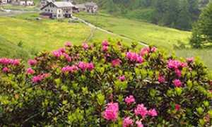 b Rododendro fioritura