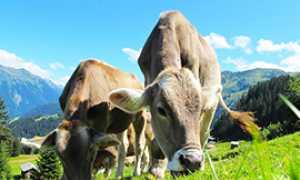 corta mucche pascolo